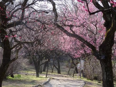 2016.02■神代植物公園梅■市報梅まつり使用.JPG